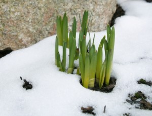 Spring Daffodil Buds 3.  Spring buds in snow.  Early flower shoot breaking through the ground.  With rock behind.  Focus is on the nearest buds.  Other buds are soft and rock is out of focus.